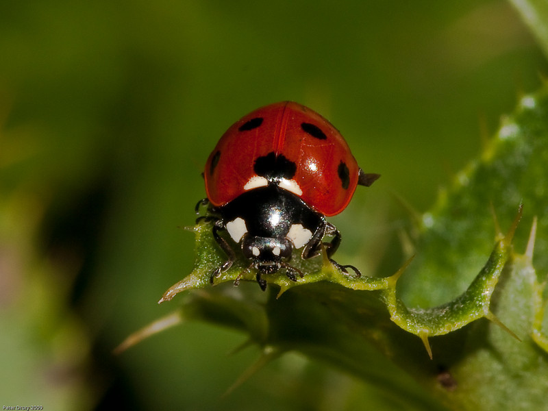 27 Sep 2009. 7 Spot Ladybird (Coccinella 7 punctata). Photo Copyright 2009 Peter Drury