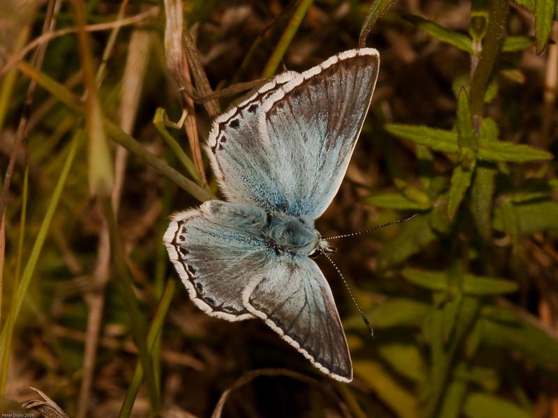 Chalk-hill Blue (Lysandra coridon). Copyright 2009 Peter Drury