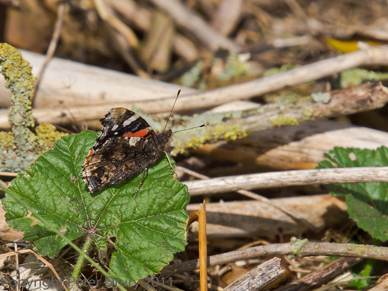 18 Oct 2011 Red Admiral at Broadmarsh.