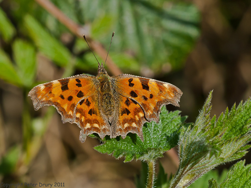 09 April 2011. Comma at the Oysterbeds.  Copyright Peter Drury 2011