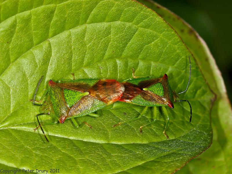 24 Jun 2011. Hawthorn Shield Bug (Acanthosoma haemorrhoidale) at the Chalk Quarry. Copyright Peter Drury 2011