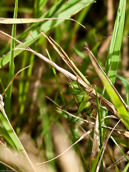 Long-winged Conehead (Conocephalus discolor). Copyright 2009 Peter Drury