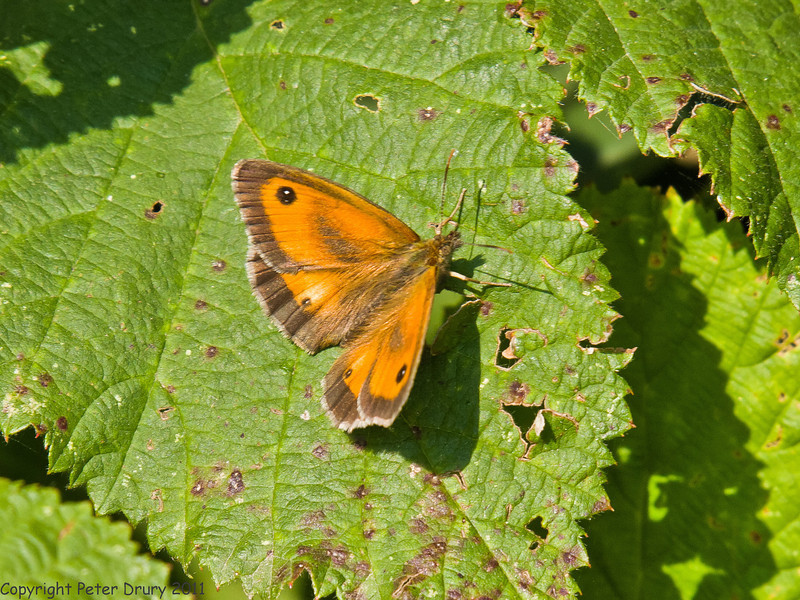 04 July 2011. Gatekeeper on th Hayling Billy Trail. Copyright Peter Drury 2011