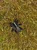 Wolf Spider (Pardosa lugubris) - male. Copyright Peter Drury 2010
