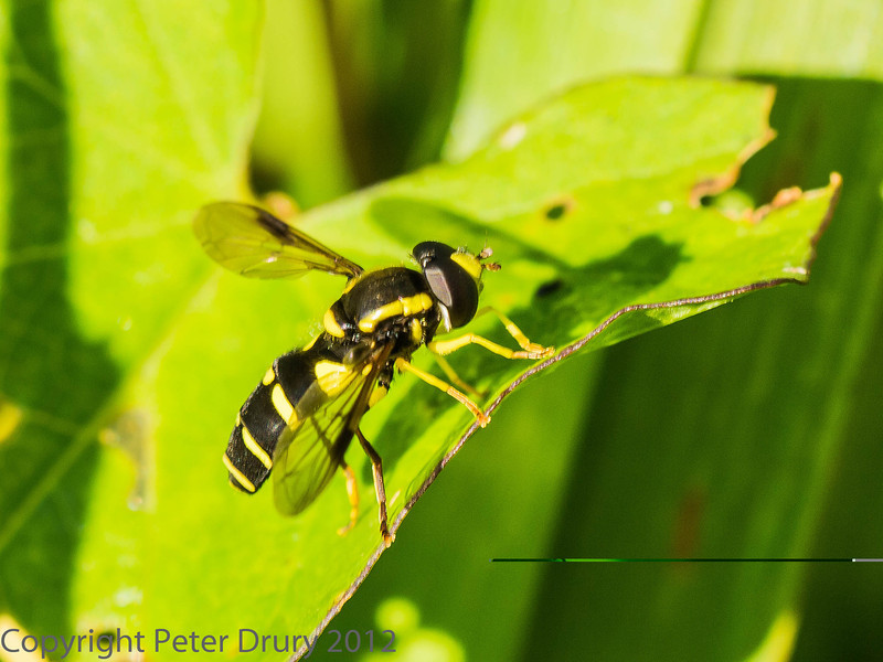 23 July 2012 Xanthogramma pedissequum at Widley