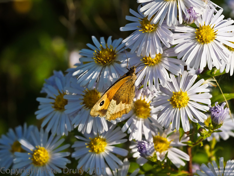 01 October 2011 Gatekeeper nectaring on Michaelmas Daisy at Portchester Common.