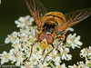 30 July 2010 - Volucella inanis. Copyright Peter Drury 2010<br /> The second sternite is yellow.