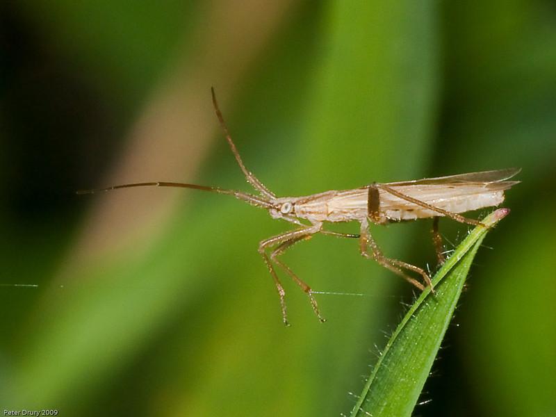 Mirid Bugs (Stenodema laevigatum). Photo Copyright 2009 Peter Drury