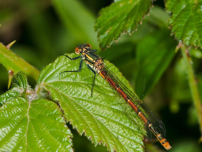 Large Red Damsel Fly (Pyrrhosoma nymphula). Copyright Peter Drury 2010