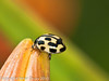 31 July 2010 - 14-spot Ladybird. Copyright Peter Drury 2010