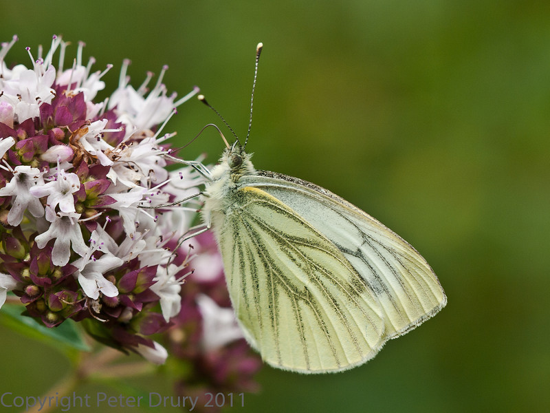 22 Jul 2011 Green-veined White at Portchester Common.