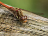 1 Sep 2012 Mature Common darter at Widley