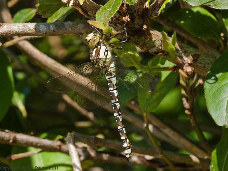 11 Jun 2011. Newly emerged female Southern Hawker at Widley. Copyright Peter Drury 2011