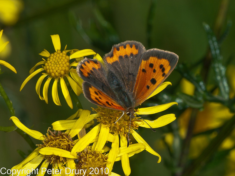12 Sep 2010 -  Small copper (Lycaena phlaeas) seen at Broadmarsh. Copyright Peter Drury 2010