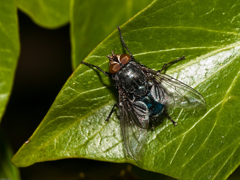 Blue bottle fly (Calliphora vicina). Copyright 2009 Peter Drury