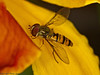 16 July 2011. Episyrphus balteatus at Widley. Copyright Peter Drury 2011