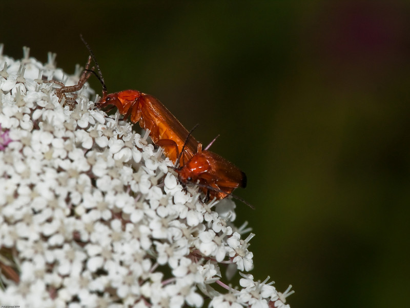 Soldier Beetle (Rhagonycha fulva). Copyright 2009 Peter Drury