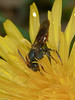 Nomada sp. Copyright Peter Drury 2010