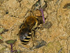 16 Sep 2011 Ivy Mining Bee (Colletes hederae)
