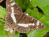 White Admiral. Copyright Peter Drury 2010