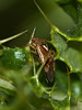 Tarnished Plant Bug (Lygus rugulipennis). Copyright 2009 Peter Drury