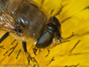 19 Sep 2011 Eristalis tenax at Plant Farm