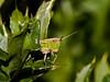 Meadow grasshopper (Chorthippus parallelus). Photo Copyright 2009 Peter Drury