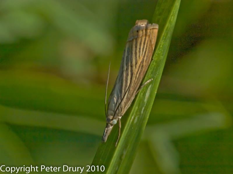 Agriphila straminella. Copyright Peter Drury 2010