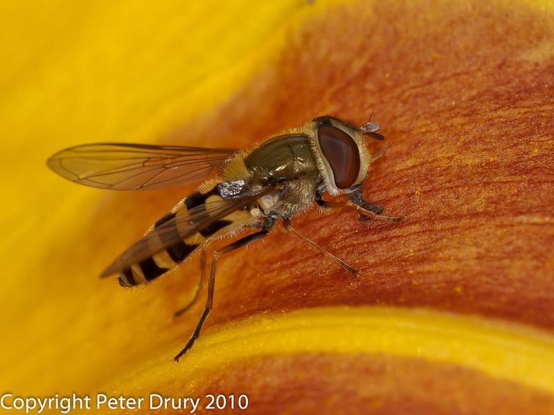 02 Aug 2010 - Syrphus vitripennis. Copyright Peter Drury 2010