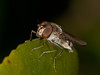 Episyrphus balteatus. Copyright Peter Drury 2010