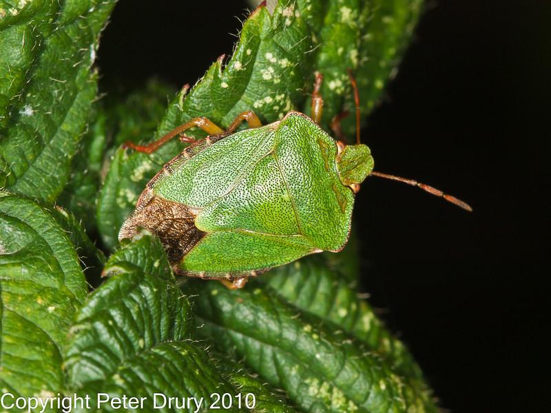 06 Oct 2010 - Green Shieldbug (Palomena prasina) at Broadmarsh, Langstone Harbour. Copyright Peter Drury 2010