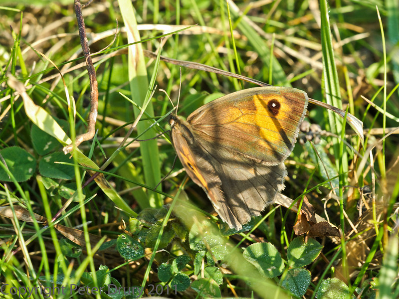 01 October 2011 Gatekeeper at Portchester Common.
