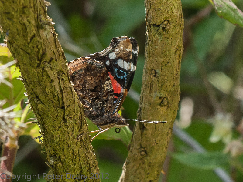 29 June 2012 Red Admiral at the chalk quarry, Portsdown Hill.