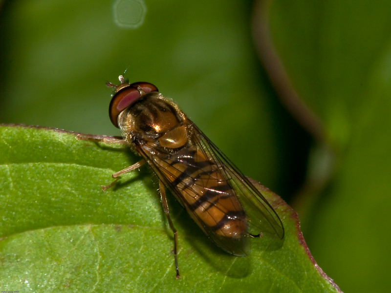 Marmalade Fly (Syriphinae-Syrphini-Episyrphus balteatus) male. Copyright 2009 Peter Drury