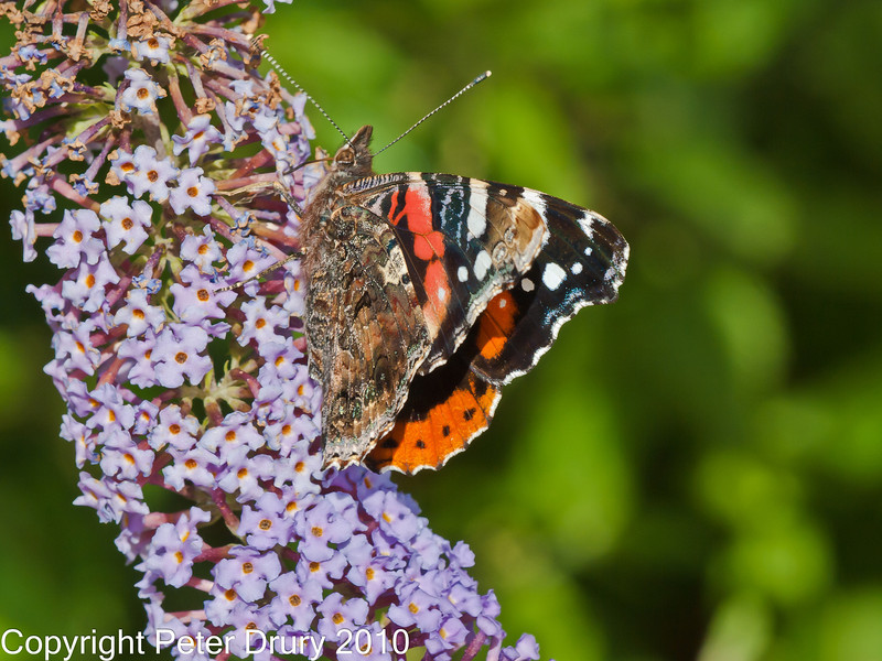 01 Sep 2010 - Red Admiral at Plant Farm Waterlooville. Copyright Peter Drury 2010