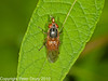 17 Sep 2010 - Rhingia campestris at Plant Farm, Waterlooville. Copyright Peter Drury 2010