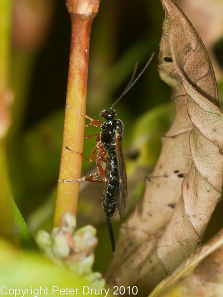 23 Sep 2010 - Ichneumon Wasp (Ichneumondae sp) at Plant Farm, Waterlooville. Copyright Peter Drury 2010