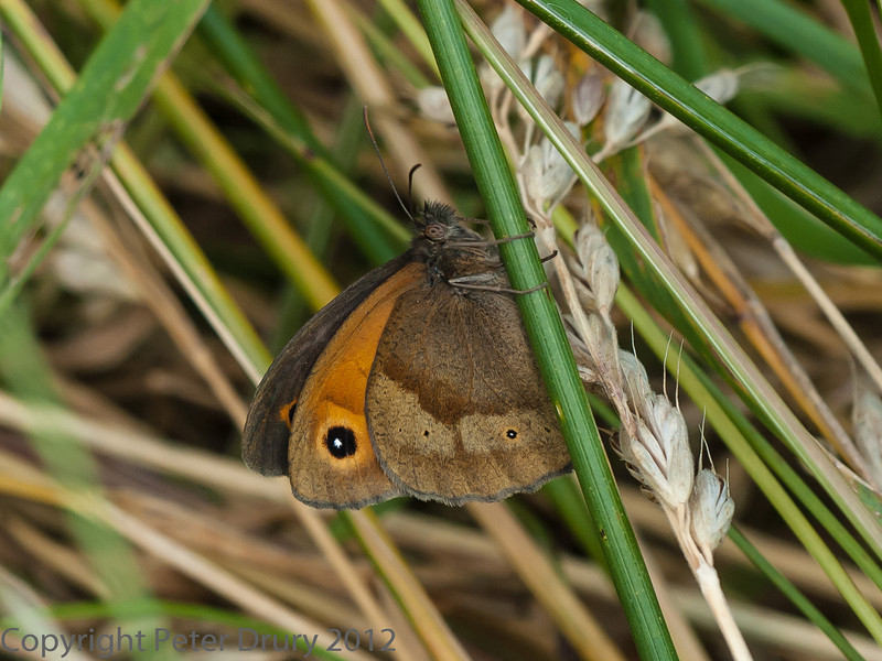 05 July 2012 Meadow Brown at Port Solent.