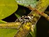 zebra spider (Salticus scenicus). Copyright Peter Drury 2010