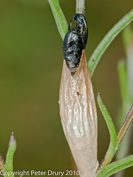 25 July 2010 - Burnet Moth empty pupae shell and paper-like cocoon. Copyright Peter Drury 2010