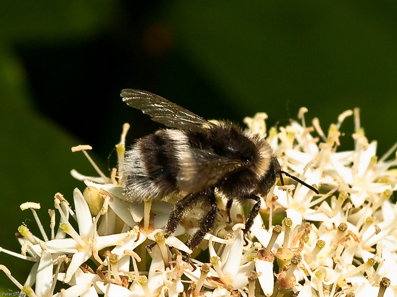 White tailed Bumblebee (Bombus lucorum) - Worker