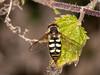 Hoverfly (Scaeva pyrastri). Copyright 2009 Peter Drury