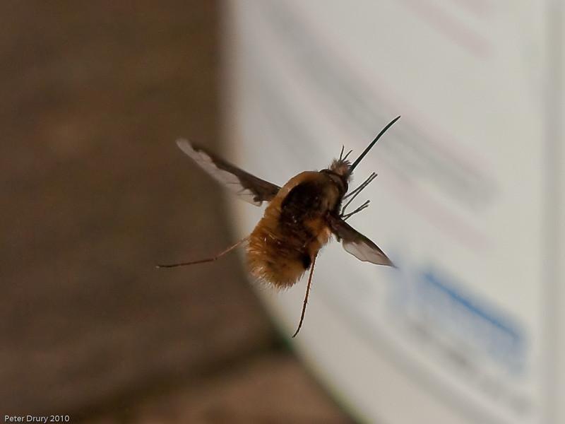 Bee fly (Bombylius major). Copyright Peter Drury 2010