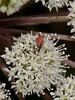 Melyrid beetle (Anthocomus rufus). Copyright 2009 Peter Drury