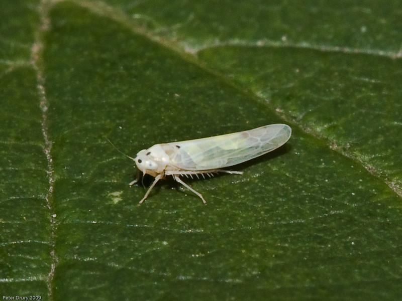Leafhopper (Elymana sulphurella). Copyright 2009 Peter Drury
