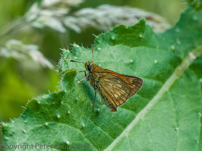 05 July 2012 Small Skipper at Port Solent.
