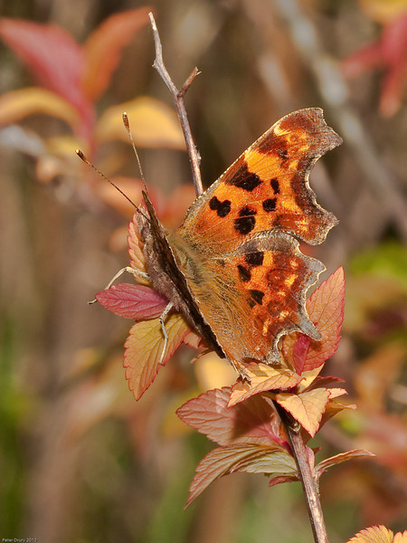 Comma (Polygonum c-album). Copyright Peter Drury 2010