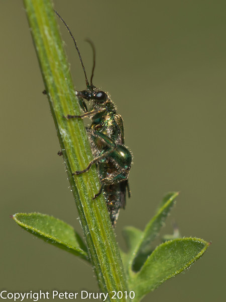Thick-kneed Flower Beetle (Oedemera nobilis) male. Copyright Peter Drury 2010