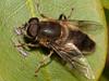 Drone Fly (Aristalis tenax). Copyright Peter Drury 2010
