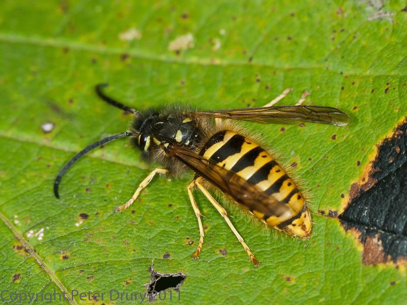 19 Sep 2011 Wasp at Plant Farm